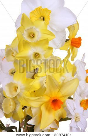 Close-up Of Brightly Colored Daffodils Against A White Background