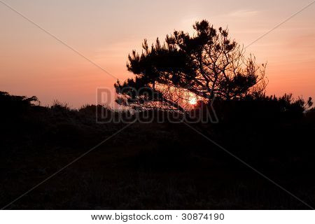 Sunset Behind A Monterey Pine Tree At Asilomar State Park In California