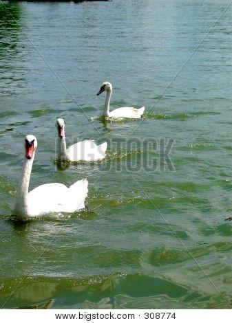 3 Cisnes nadando