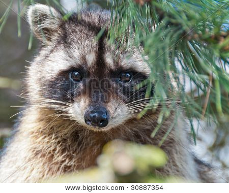 A close-up view of a cute  raccoon sitting on the tree.