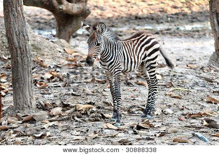 zebra family in chiang mai night safari
