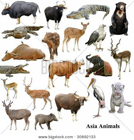 Asian Animals Collection Isolated