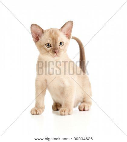 Burmese cat sitting on white