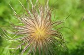 Close-up Of Hairy Seeds Of Pulsatilla, The Pasque Flower, A Poisonous Plant poster
