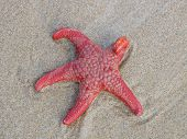 Close-up Of A Living Red Sea Star On A Beach In Southern Australia, Australia poster