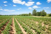 Rows Of Potatoes On The Farm Field. Cultivation Of Potatoes In Russia. Landscape With Agricultural F poster