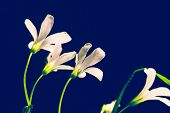 Close Up Of White Flowers On Blue Background. Blue Background With White Flowers. Background Of Whit poster