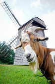 Goat And Windmill