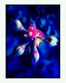 Blue Geranium Flower Trippy Background Wallpaper Futuristic Mind Expression Fine Art Prints Products poster