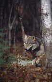 Постер, плакат: Серый волк