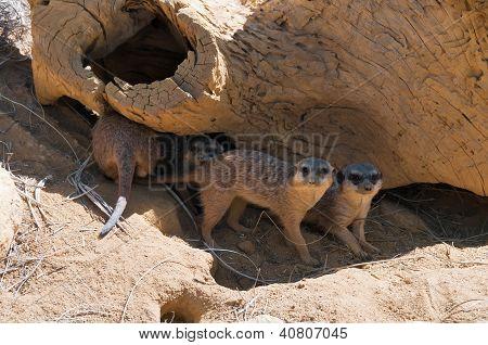 Funny meercats