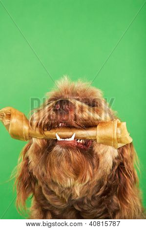 Otterhound with rawhide bone over green background
