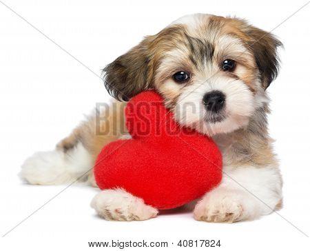 Amante dos Namorados Havanese cachorro