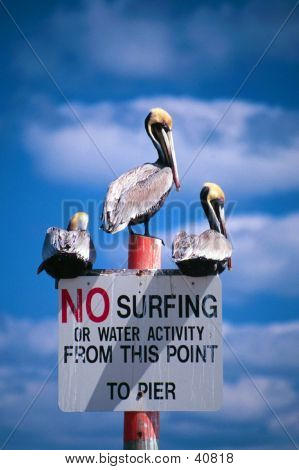 No Surfing Pelicans