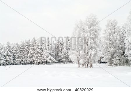 Snow Covered White Birches And Evergreen Pines In Winter Season