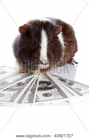 Guinea Pig And Dollars
