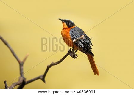 Robin bird on the branch of a tree with yellow background