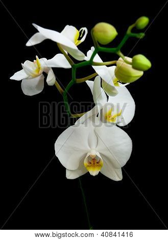 Phalaenopsis White Orchid Flowers On Black Background