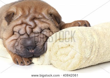 Relaxing Sharpei Puppy