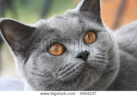 Cat With Orange Eyes, British Blue Shorthair