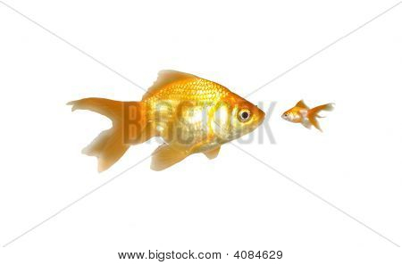 Large And Small Goldfishes (Power)