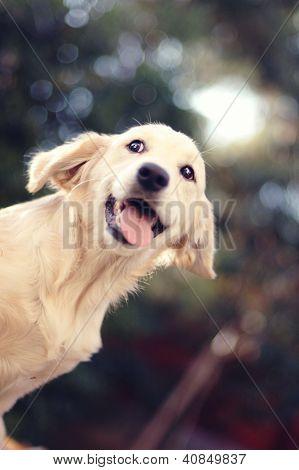 A Beautiful Young Golden Retriever Dog