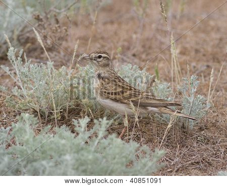 Greater Short-toed Lark In The Steppe.