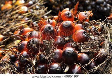 Palm Plat Fruit Seed Cluster