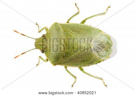 Green Shield Bug Species Palomena Prasina