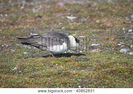 Skua On The Arctic Tundra