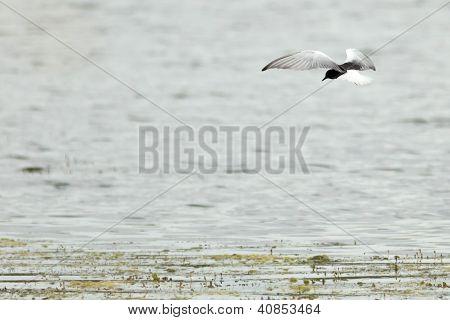 Chlidonias Leucopterus, Leucoptera, White-winged Tern.