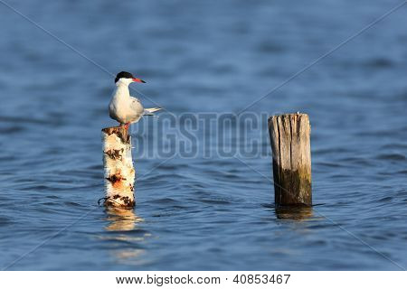 Sterna Hirundo, Common Tern.