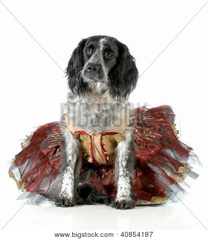 female dog - english cocker spaniel cross wearing ballet tutu on white background
