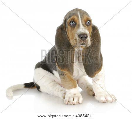 basset hound puppy sitting on white background