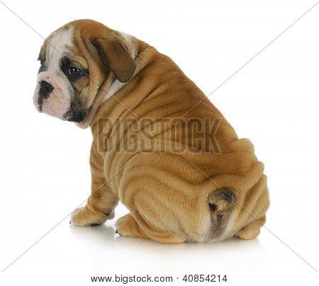 enrugada puppy - filhote de bulldog Inglês com muitas rugas sentado com bum Viewer no branco traseiro