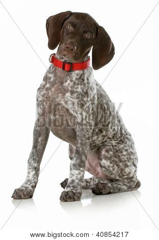 german short haired pointer puppy wearing red collar sitting on white background - 10 weeks old