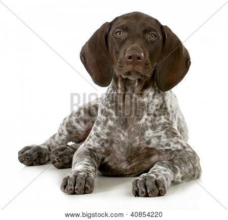 german short haired pointer puppy laying down on white background - 10 weeks old