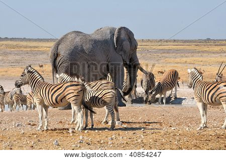 Elephant And Zebras