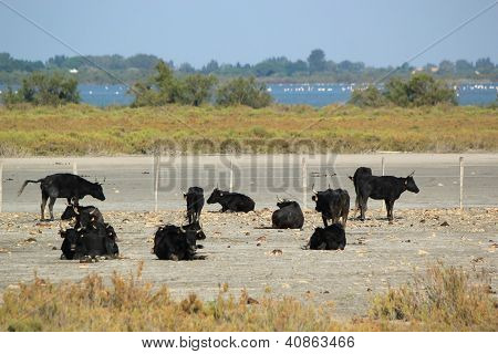 Typical Bulls, Camargue, France