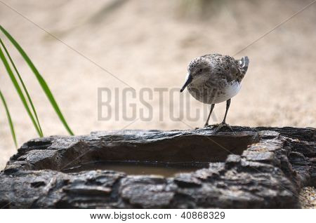 Bird drinking water from artificial rock