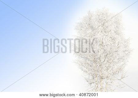 Snow Covered Birch