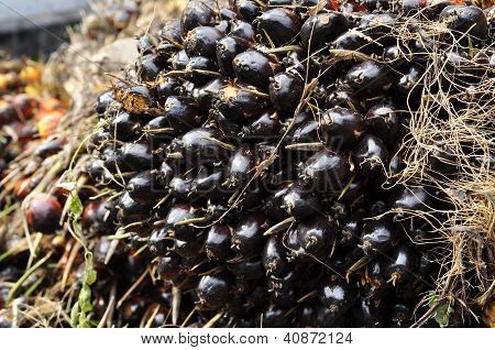 Palm Fruit Day Plat Seed Cluster
