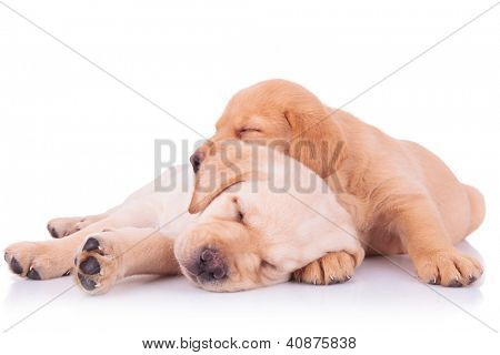 two adorable labrador retriever puppy dogs brothers sleeping on on top of the other on white background