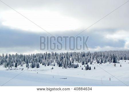 Fir Tree In Winter, Jura Mountain, Switzerland