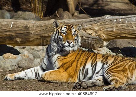 Amur Tigress