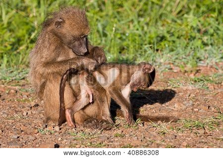 Mother Baboon Searching For Ticks And Fleas
