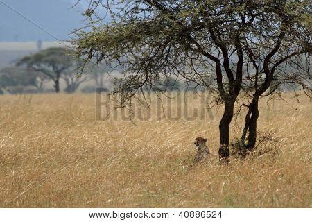 Cheetah Under Acacia Tree