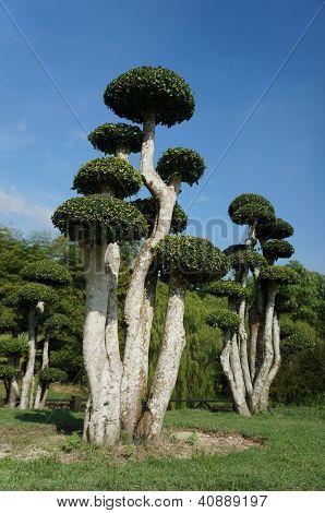 Leeftijd bonsai boom uit Streblus Asper soorten