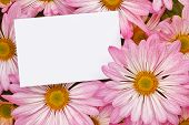 pic of chrysanthemum  - Pink Chrysanthemum Floral bouquet background with blank greeting tag to insert your marketing message or florists branding - JPG
