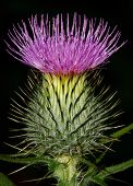 foto of scottish thistle  - Scotch Thistle in flower a popular scottish icon - JPG
